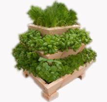 Kolmene taimepüramiid maitserohelisega