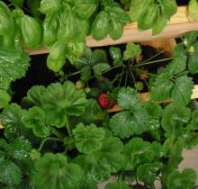 Esimesed maasikad 5-ses püramiidis