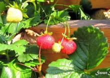 Esimesed tärkajad maasikad
