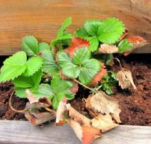 Maasikas tärkamas kevadel