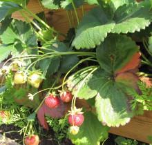 maasikad ja porgandid