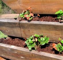 Kevade esimene komposti ja turba multshimine maasikatele_1