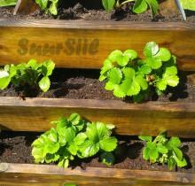 Maasikad istutatud, jääme kasvamist ootama