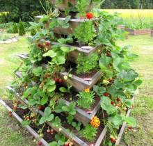 Maasikad ootavad sööjaid _5