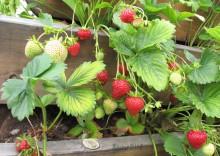 Maasikad ootavad sööjaid _6