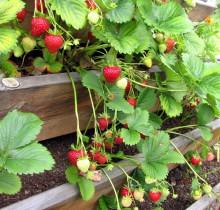 Maasikad ootavad sööjaid _7